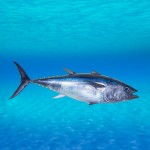 deep sea fishing - Bluefin tuna Thunnus thynnus underwater
