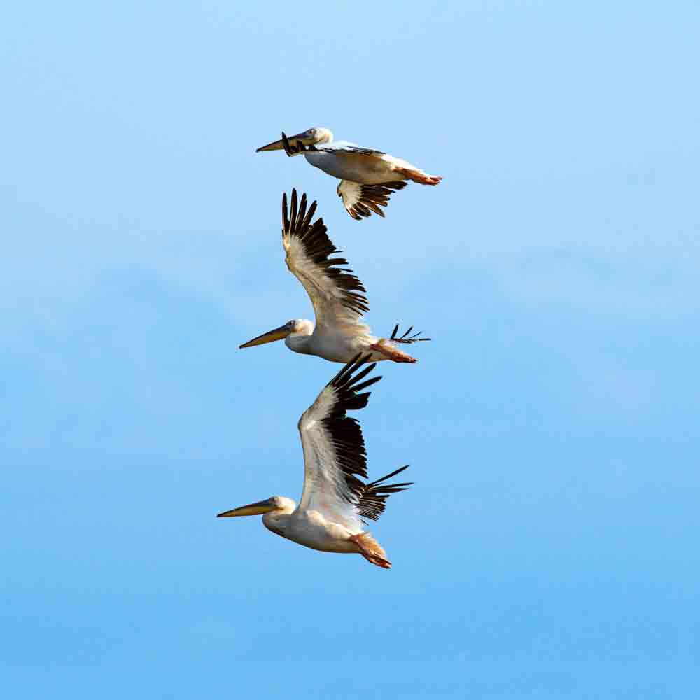 Baja Beaches - pelicans over beautiful blue sky